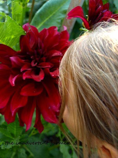 Master gardener red dahlia