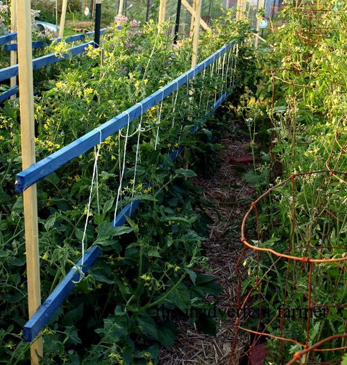 Tomato supports rows