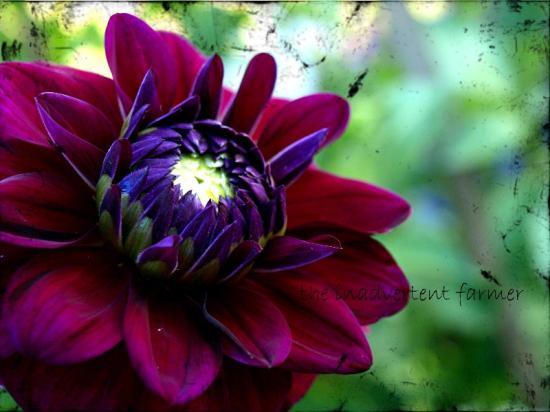 Dahlia purple texture