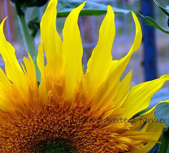 Sunflower petal flames