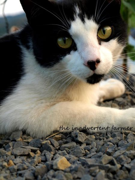 Chester cat black white