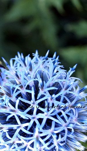 Allium blue