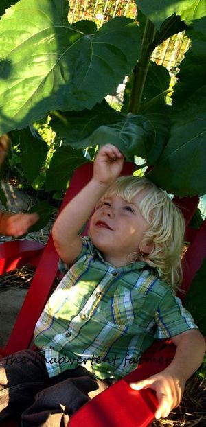 Sunflower maze little boy play