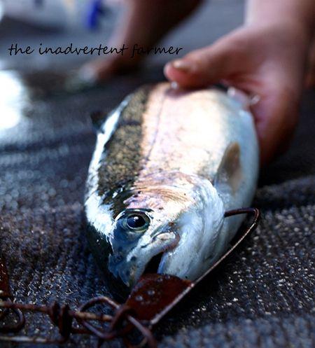 Fish  trout caught lake