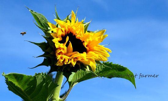 Sunflower flight of honey bee