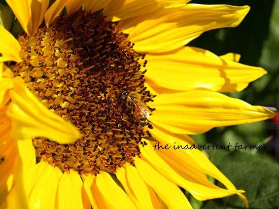 Sunflower honey bee