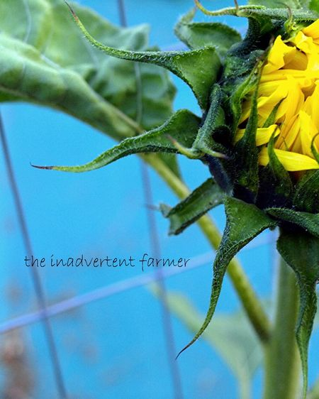 Sunflower bud blue sky