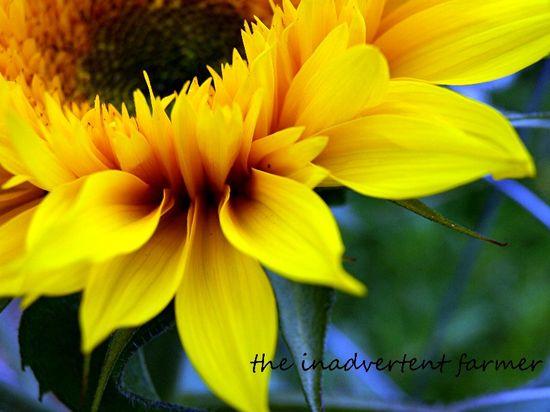 Sunflower petals golden