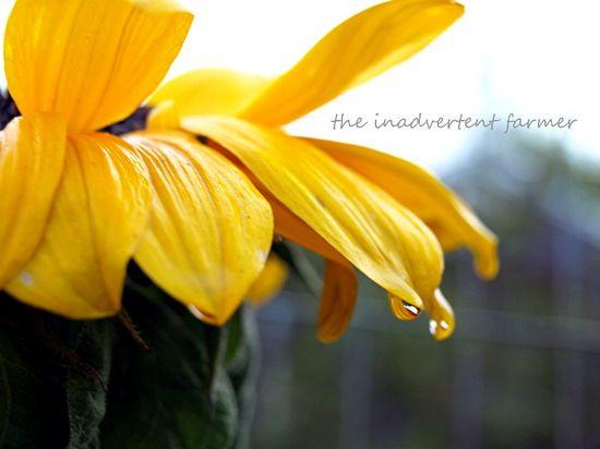 Sunflower raindrop