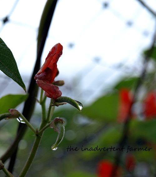 Garden maze scarlett runner bean raindrop