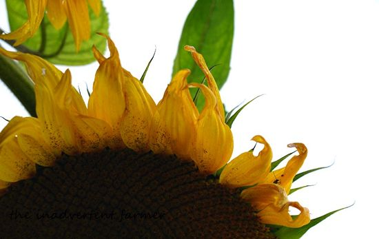 Sunflower half head
