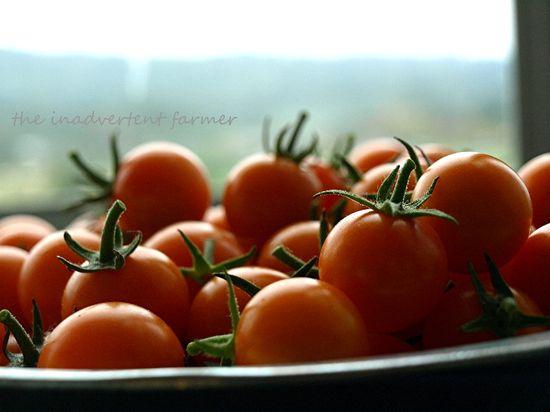 Tomatoes orange cherry