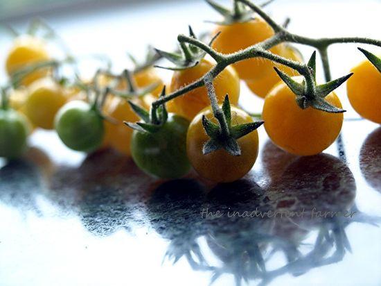 Tomatoes yellow bunch