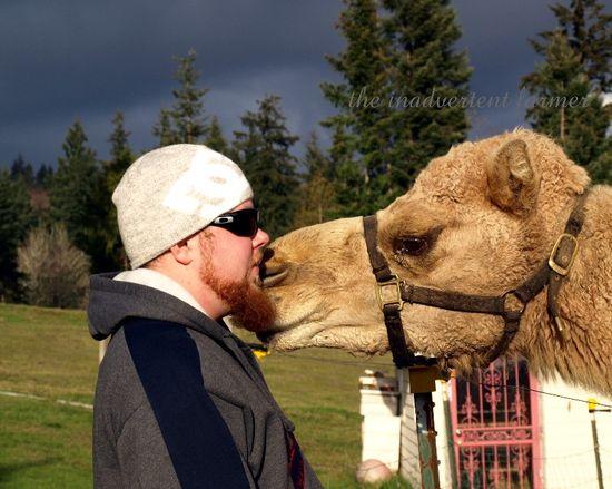 Camel red beard