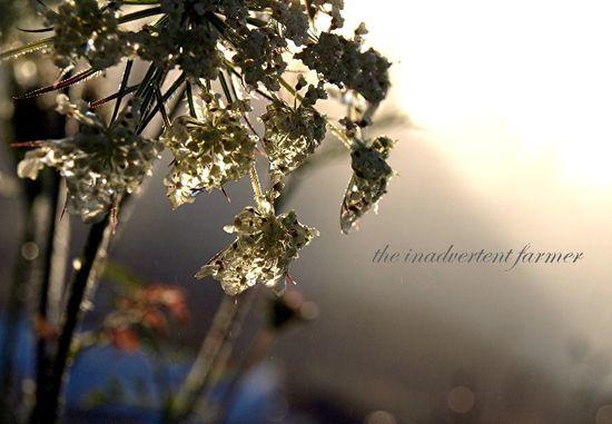 Queen anne's lace backlit sunrise