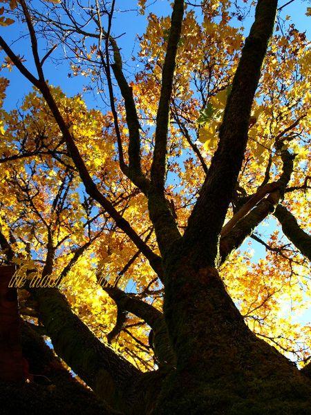 Tree maple autumn