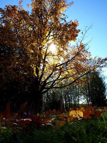 Tree field sun autumn
