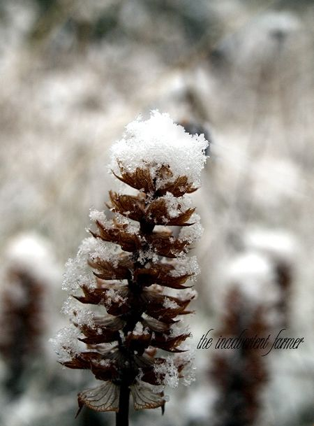 Weed with snow