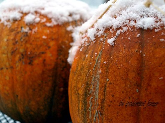 Snow on pumpkins