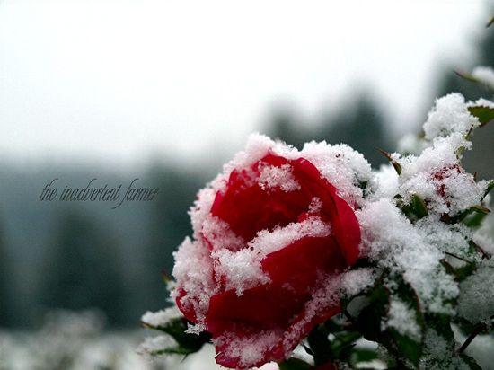 Snow on rose