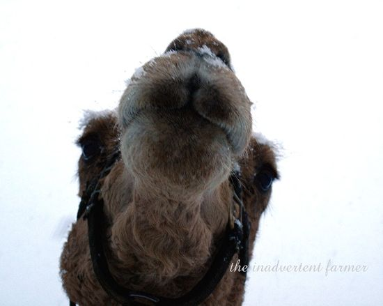 Snow camel winter storm macro whiskers lips nose