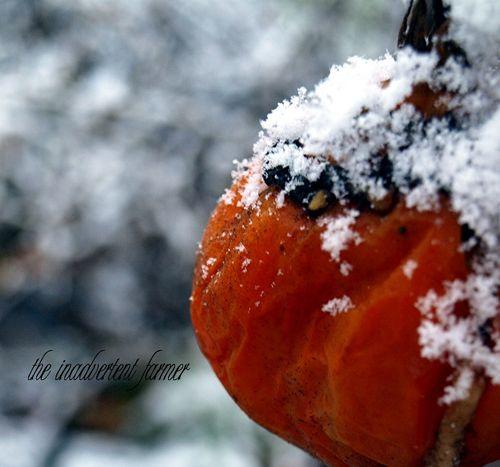 Snow on tomato