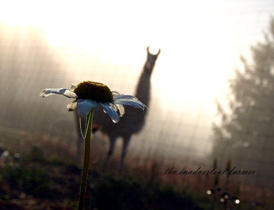 Daisy llama mist