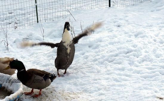 Ducks snow fly winter