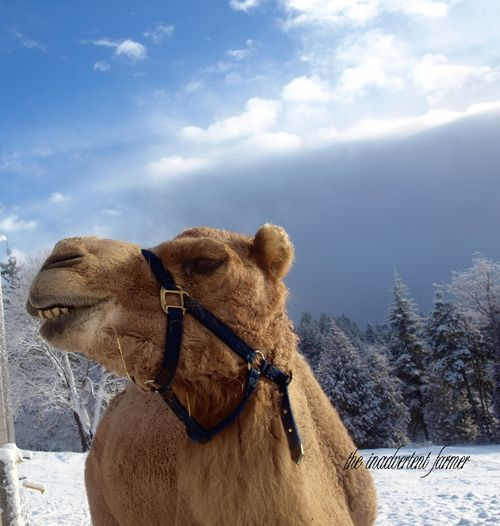 Camel snow annoyed