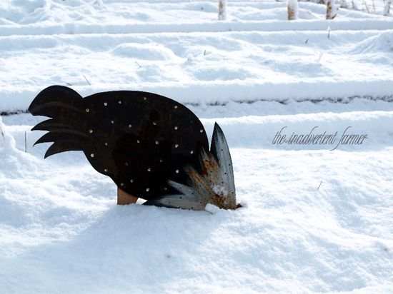 Rooster head in snow