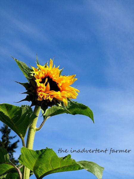 Sunflower mammoth blue sky