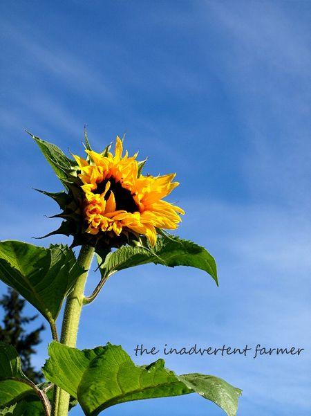 Sunflower mammoth blue sky