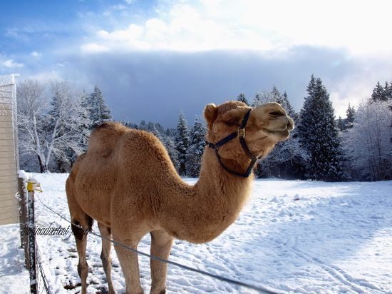 Camel snow winter