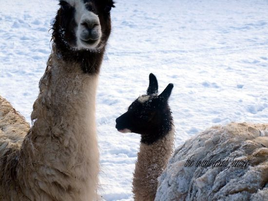 Llamas snow winter