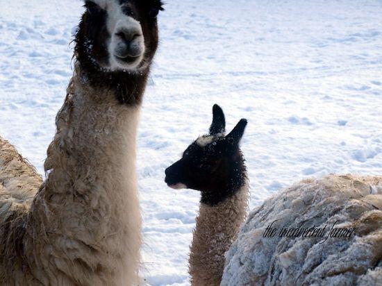 Llamas snow winter