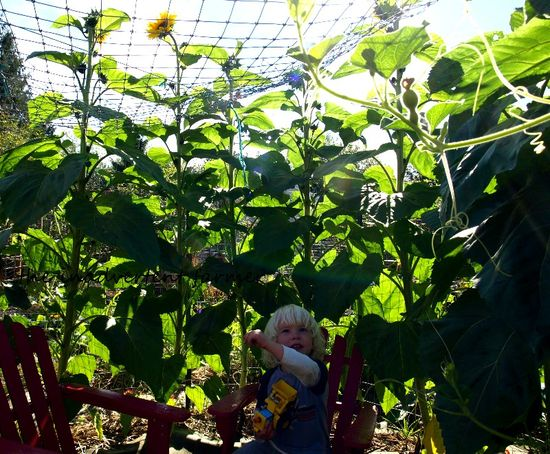Garden maze sunflowers