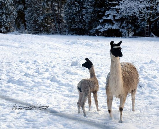 Llamas baby snow