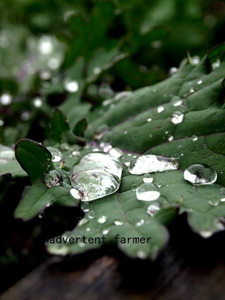 Raindrops on kale