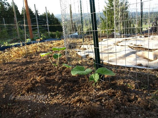 Maze hollyhock seedlings