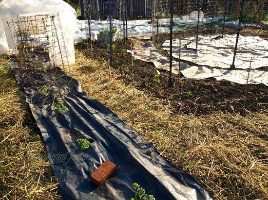 Maze tomato row2