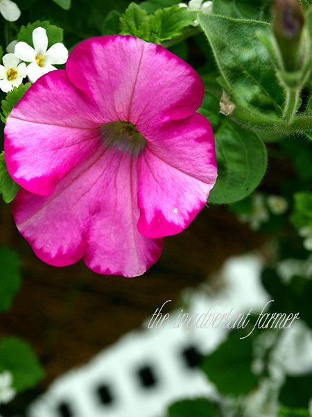 A petunia pink basket