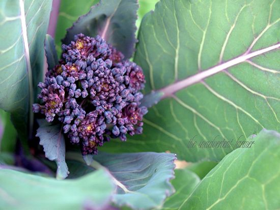 Purple brocolli head macro