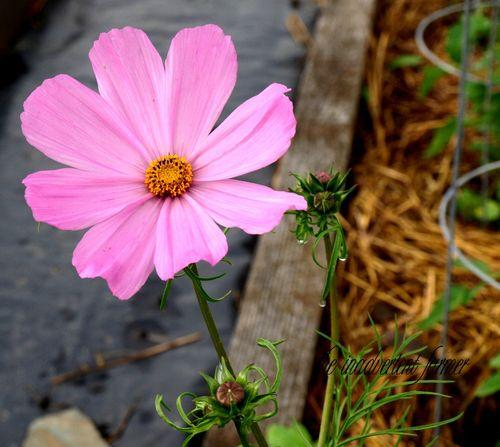 Cosmo pink rain