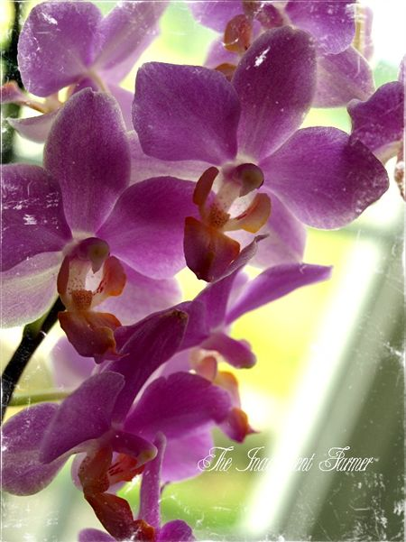 Orchid spray pink