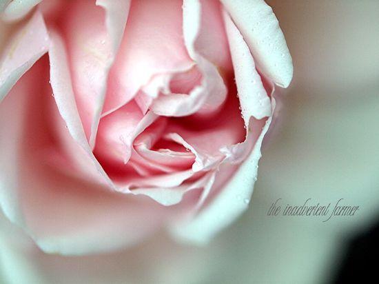 Rose pink dew macro bloom bokeh white