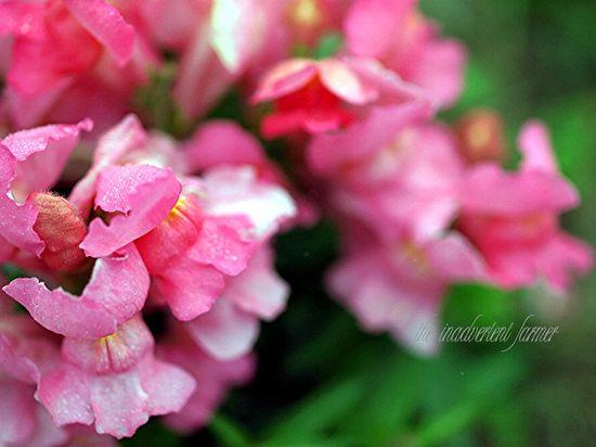 Sweet pea pink flower macro dew
