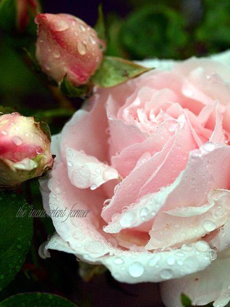 Roses bud rain macro pink