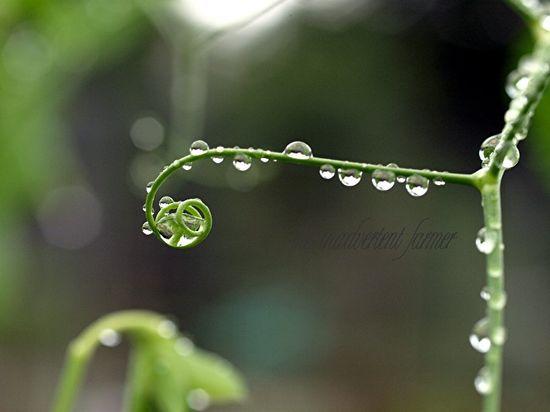 Raindrops pea tendril