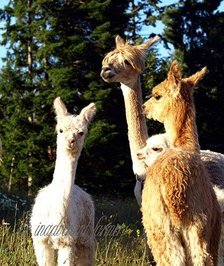 Alpaca herd cria white