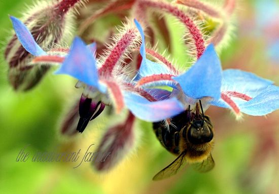 Bee macro honey borage